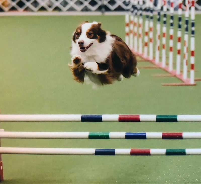 Captain is an accomplished agility dog as well.