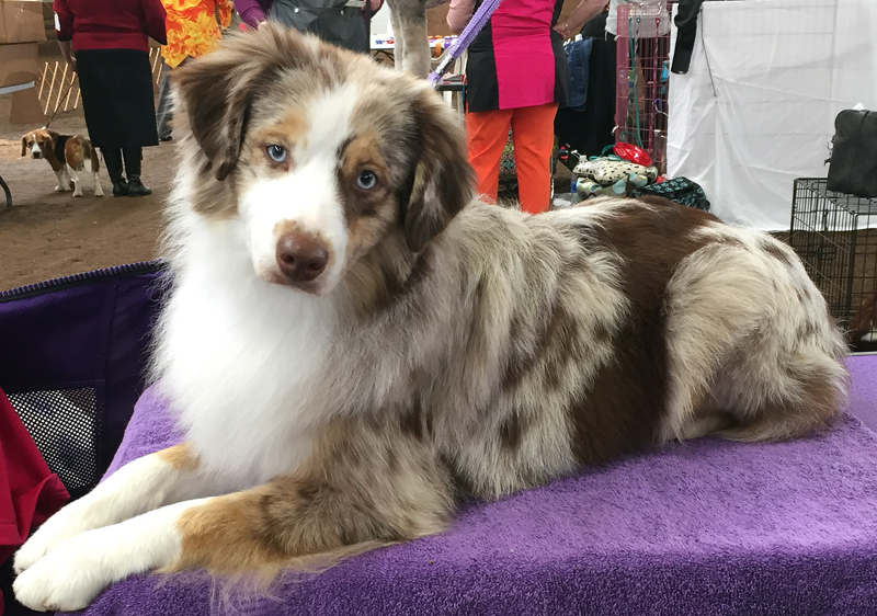 Woodridge Moonshine in The Trunk is a red merle female Miniature American Shepherd.