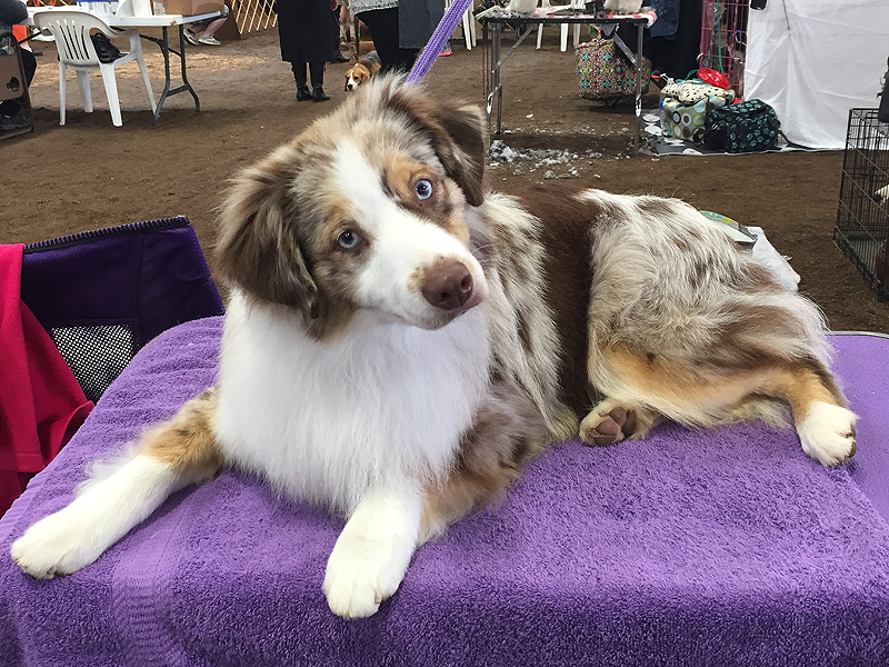 Woodridge Moonshine in The Trunk, a female Miniature American Shepherd, waiting for her class.