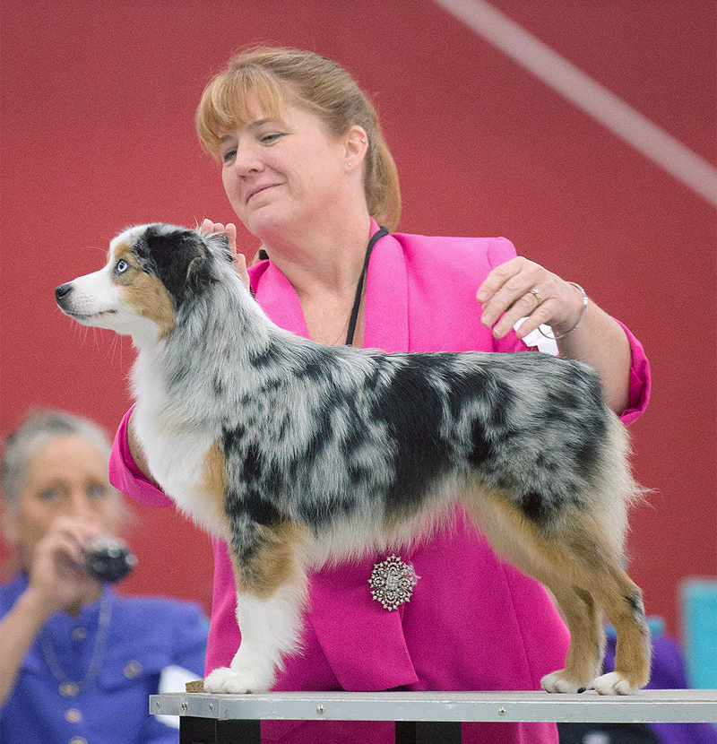 "Ch. Woodridge Sunshine and Whiskey FDC BCAT CGC TKI ""Sparkle"" being shown in AKC as a Miniature American Shepherd."