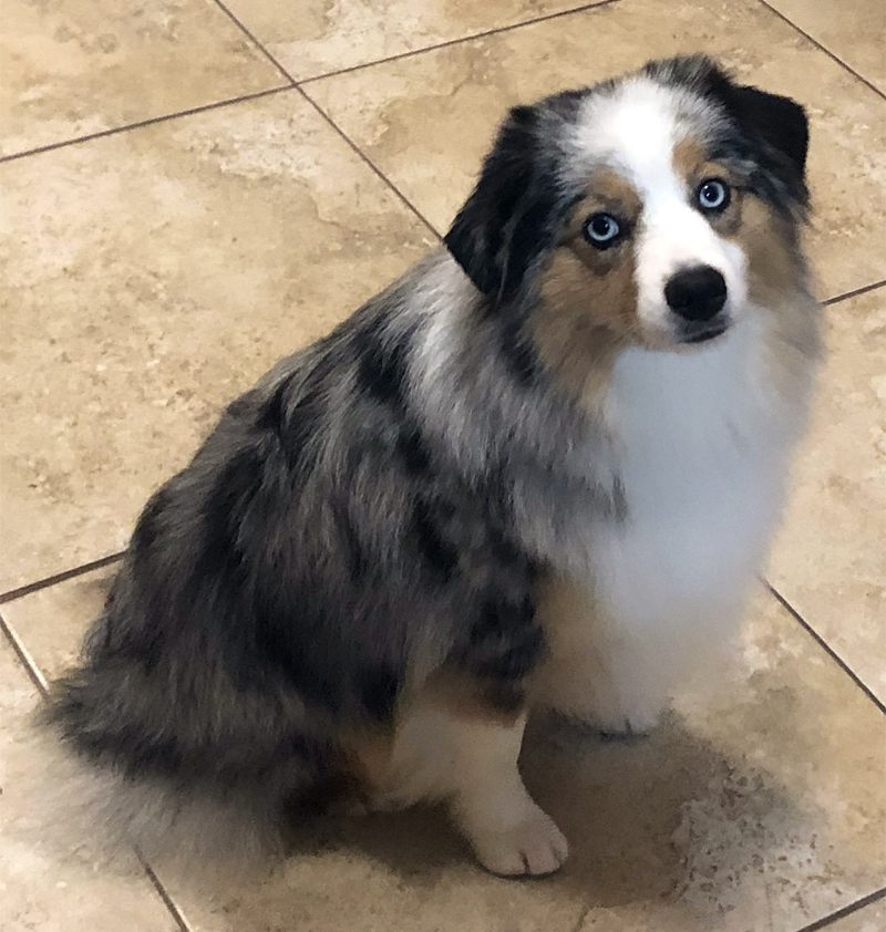 Sparkle is a pretty blue merle female Miniature American Shepherd with blue eyes.