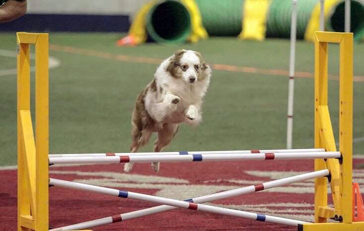Splash enjoys a round of agility.